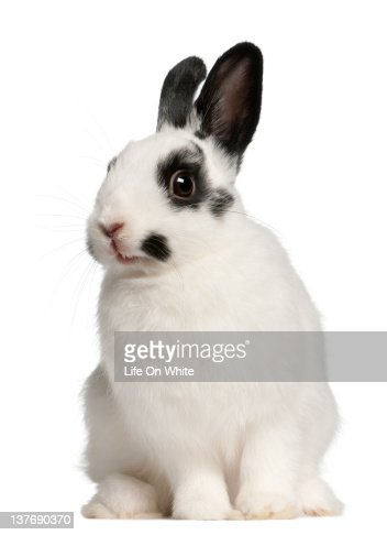 Dalmation rabbit (2 months old) : Stock Photo