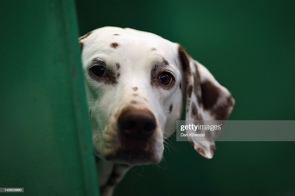 A Dalmation sits in it's kennel on Day one of Crufts at the Birmingham NEC Arena on March 8, 2012 in Birmingham, England. During the annual four-day competition nearly 22,000 dogs and their owners will compete in a variety of categories, ultimately seeking the coveted prize of 'Best In Show'.