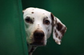 Dalmation sits in it's kennel on Day one of Crufts at the Birmingham NEC Arena on March 8 2012 in Birmingham England During the annual fourday...