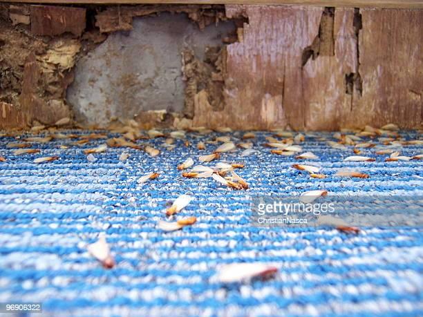 Dommages causés par Termites (série