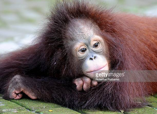 Damai 3 years old Bornean orang utan plays courtyard at Surabaya Zoo as he prepares to be released into the wild on May 19 2014 in Surabaya Indonesia...
