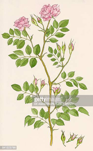Damask rose Rosaceae drawing