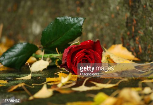 Damp Rose