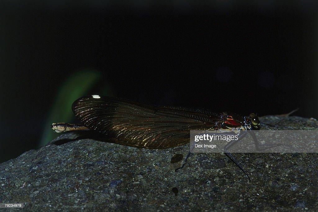Damselfly perching on rock at night, close up : Stock Photo