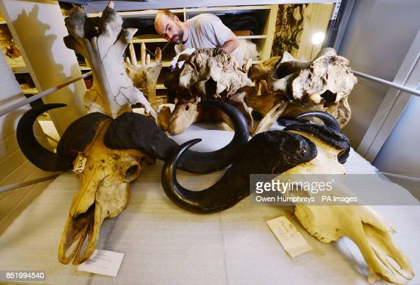 Dan Gordon Keeper of Biology at Tyne and Wear Archives and Museums views a pair of African Buffalo skulls at the Discovery Museum in Newcastle as he...