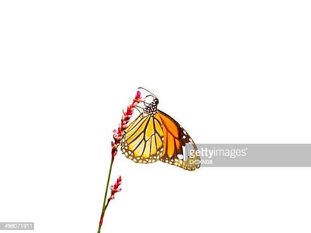 Danaus genutia butterfly on flower