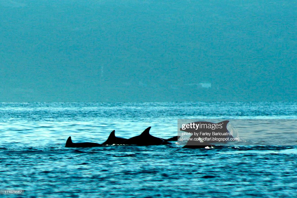 Dance of the dolphins : Stock Photo