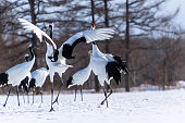 The red-crowned crane is one of Japan's most charismatic and emblematic animals. At approximately four feet tall, the cranes dance, jump, and chase one another in a poetic courtship display of great i