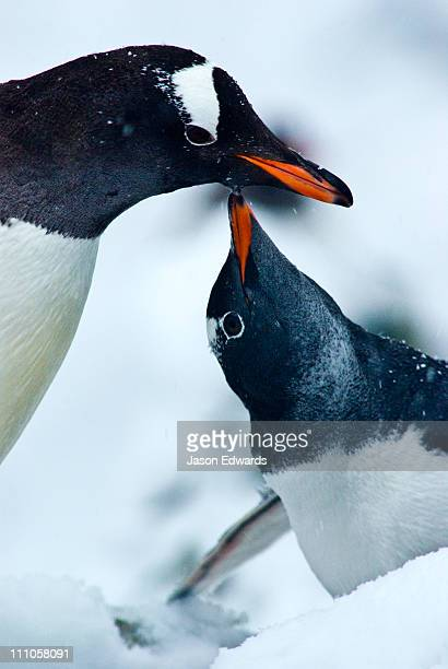 A large Gentoo Penguin chick begging for krill from a parent.