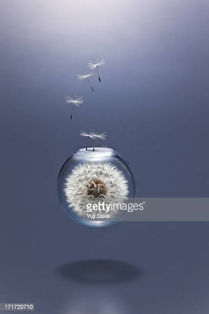 dandeliom seeds blowing  fly away  from in  triang