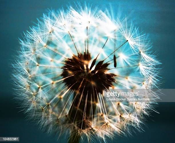 Dandelion abstract