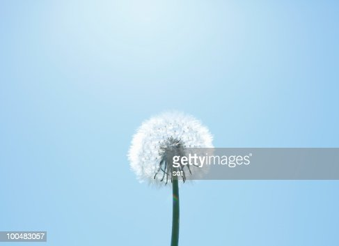 Dandelion against a bright blue sky