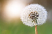 Dandelion against the green grass and sun. Piece, Stillness, mindfulness, wishing, tenderness concept. Background, wallpaper, copy space image or text.