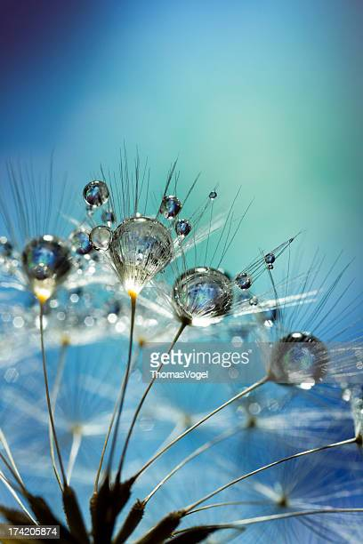 Dandelion and Dew - Blue Nature Macro