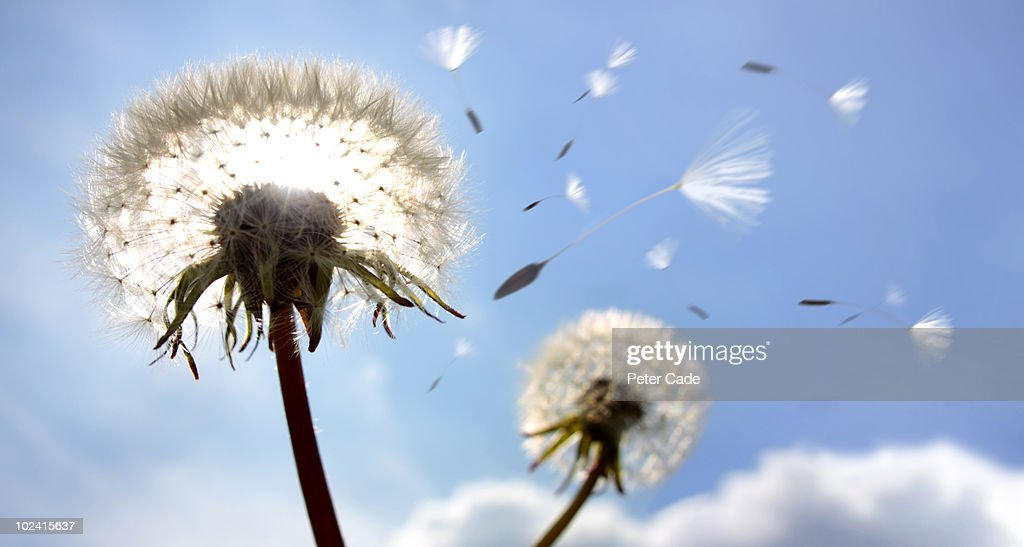 Dandelion and seeds : Stock Photo