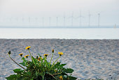 Dandelion at the beach and offshore wind turbines