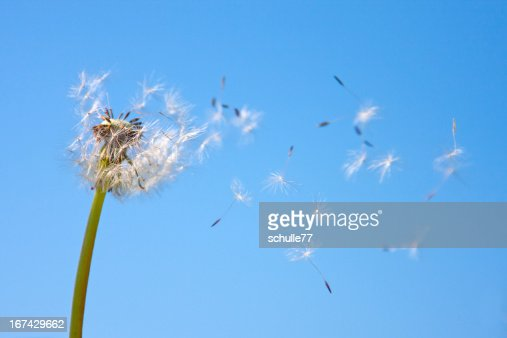 Dandelion being blown in the wind against blue sky : Stock Photo