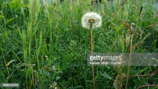 Dandelion Blooming In Garden