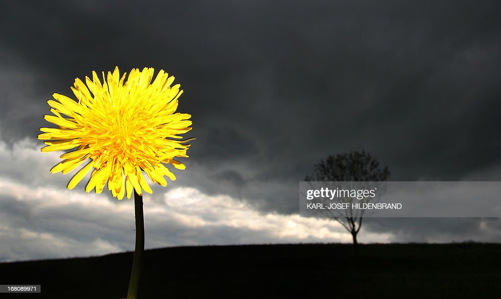 A dandelion blossoms in front of a dark sky near Biessenhofen, southern Germany, on May 4, 2013. Meteorologists forecast temperatures around 24 degrees and rain for the coming week in southern Germany.