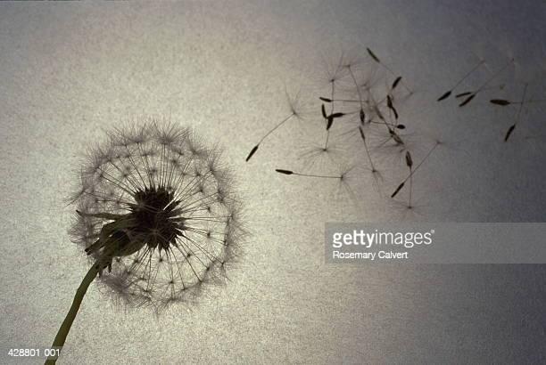 Dandelion (Taraxacum officinale) blowing in wind (grainy)