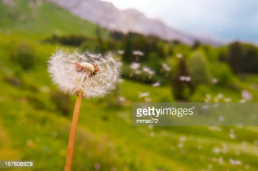 Dandelion Blown
