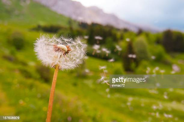 Dandelion Blown