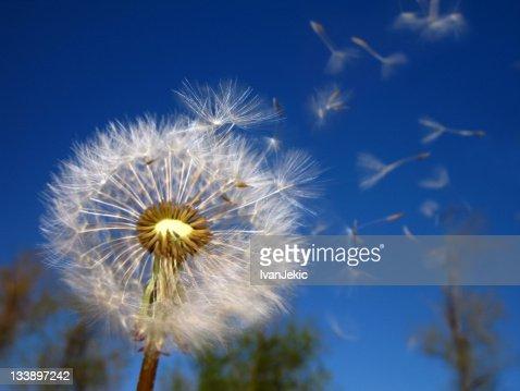 Löwenzahn Uhr und fliegende Samen