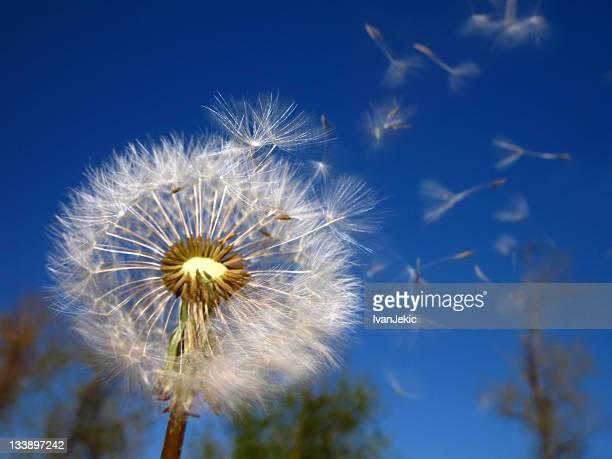 Dandelion clock and flying seeds