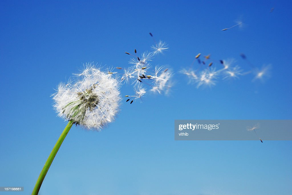 Dandelion Clock dispersing seed with blue sky in the background