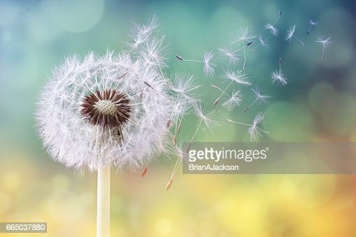Dandelion clock in morning sun : Stock Photo
