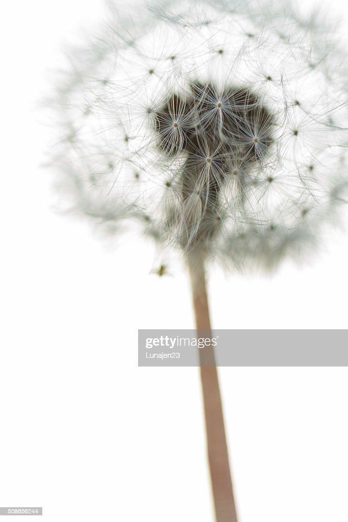 Dandelion Close up : Stock Photo