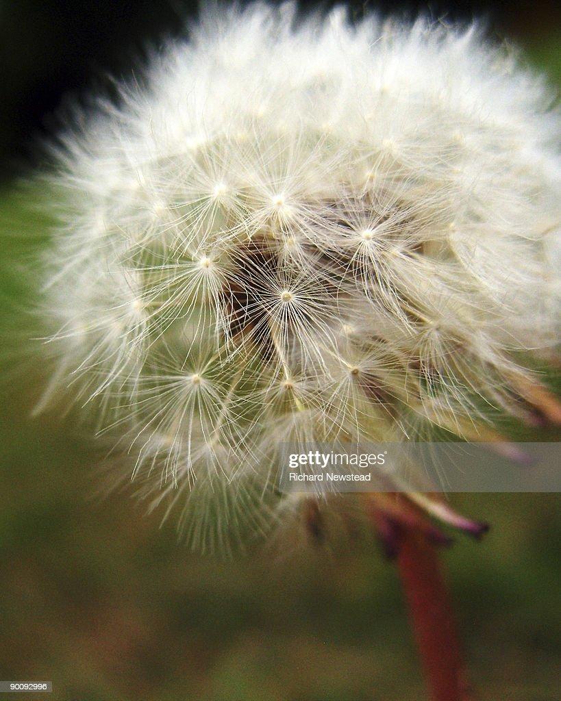 Dandelion, close up : Stock Photo
