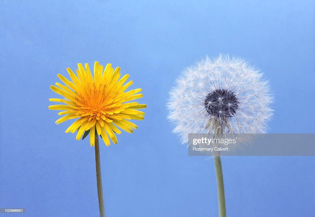 contemporary dandelion head floral - photo #7