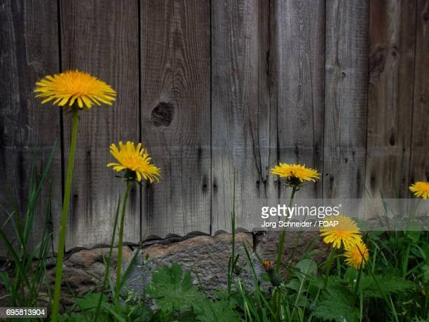 Dandelion flowers in front of a wooden wall