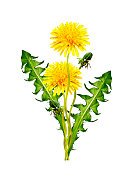 dandelion flowers isolated on white background.  spring