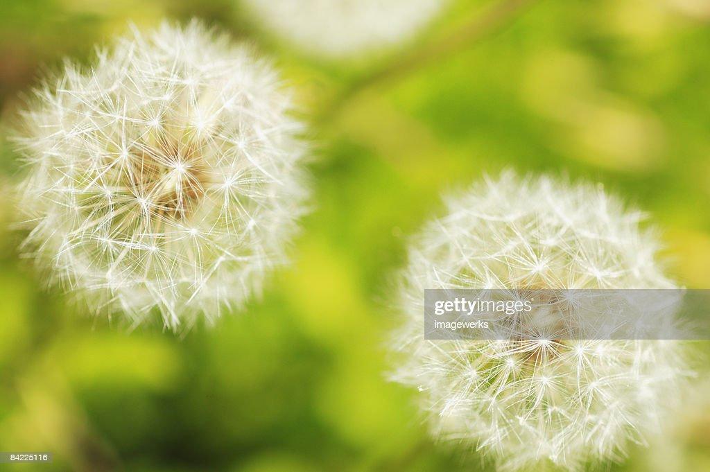 Dandelion fluff, close-up : Stock Photo