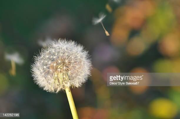 Dandelion flying in wind