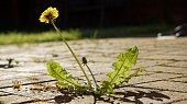 A Dandelion flower and leaves bathed in sunshine, growing through the paving blocks.