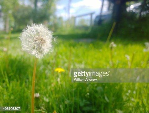 Dandelion in grassy field
