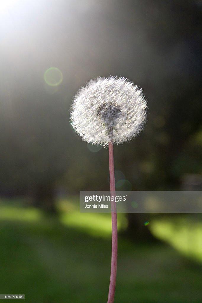 Dandelion in the sunlight : Stock Photo