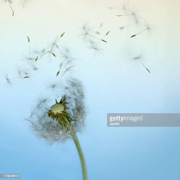 Löwenzahn Samen im Wind verlieren
