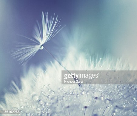 Dandelion parachute seed with water droplets