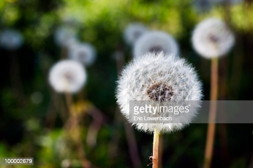Dandelion   : Stock Photo