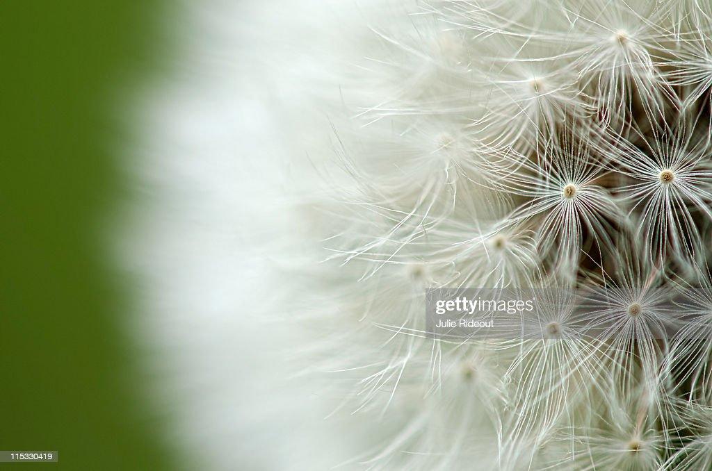 Dandelion : Stock Photo