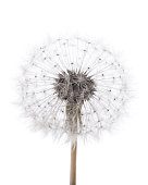 High key dandelion on white background