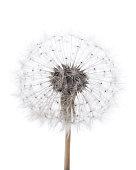 High key dandelion on white background