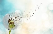 Dandelion with blowing seedsDandelion with blowing seeds on blurred background