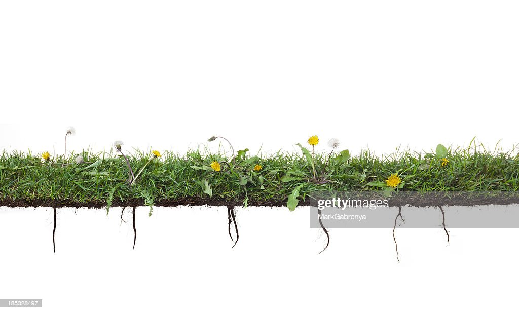 Dandelion plants growing in grass with roots