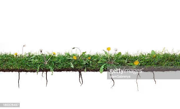 Fleur de pissenlit plantes croissance de l'herbe avec des racines