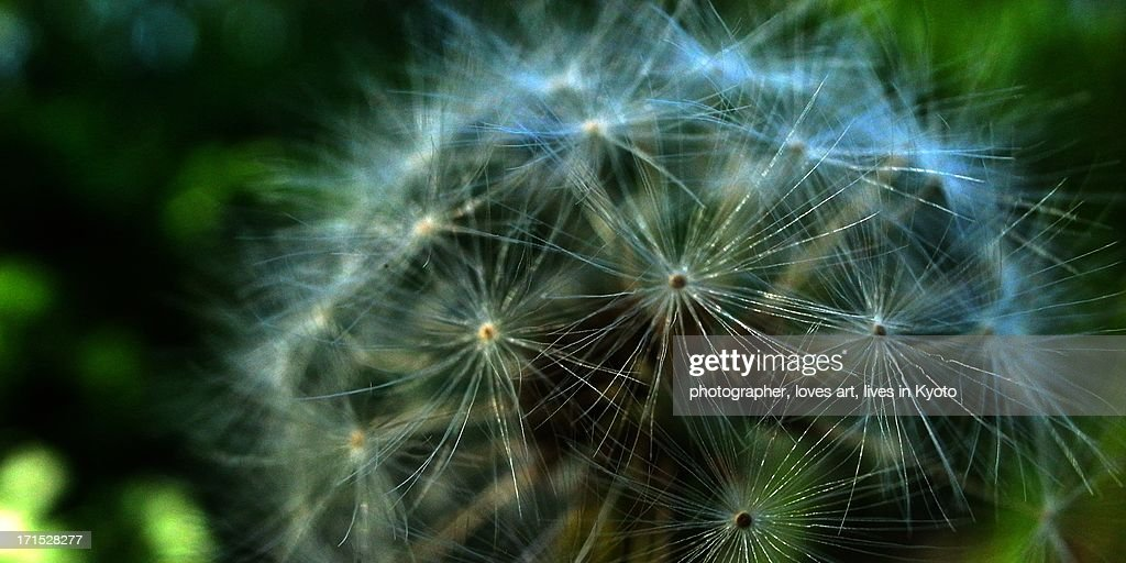 dandelion puffball : Stock Photo